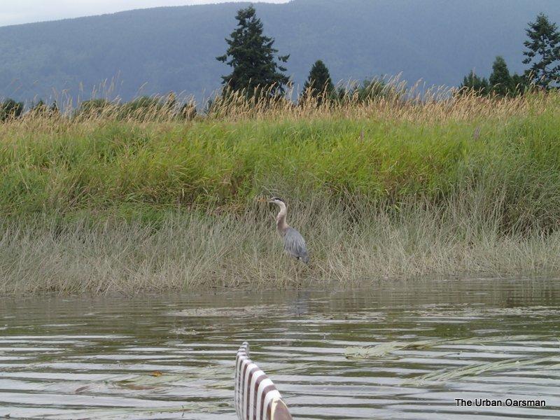 Blue Heron fishing.